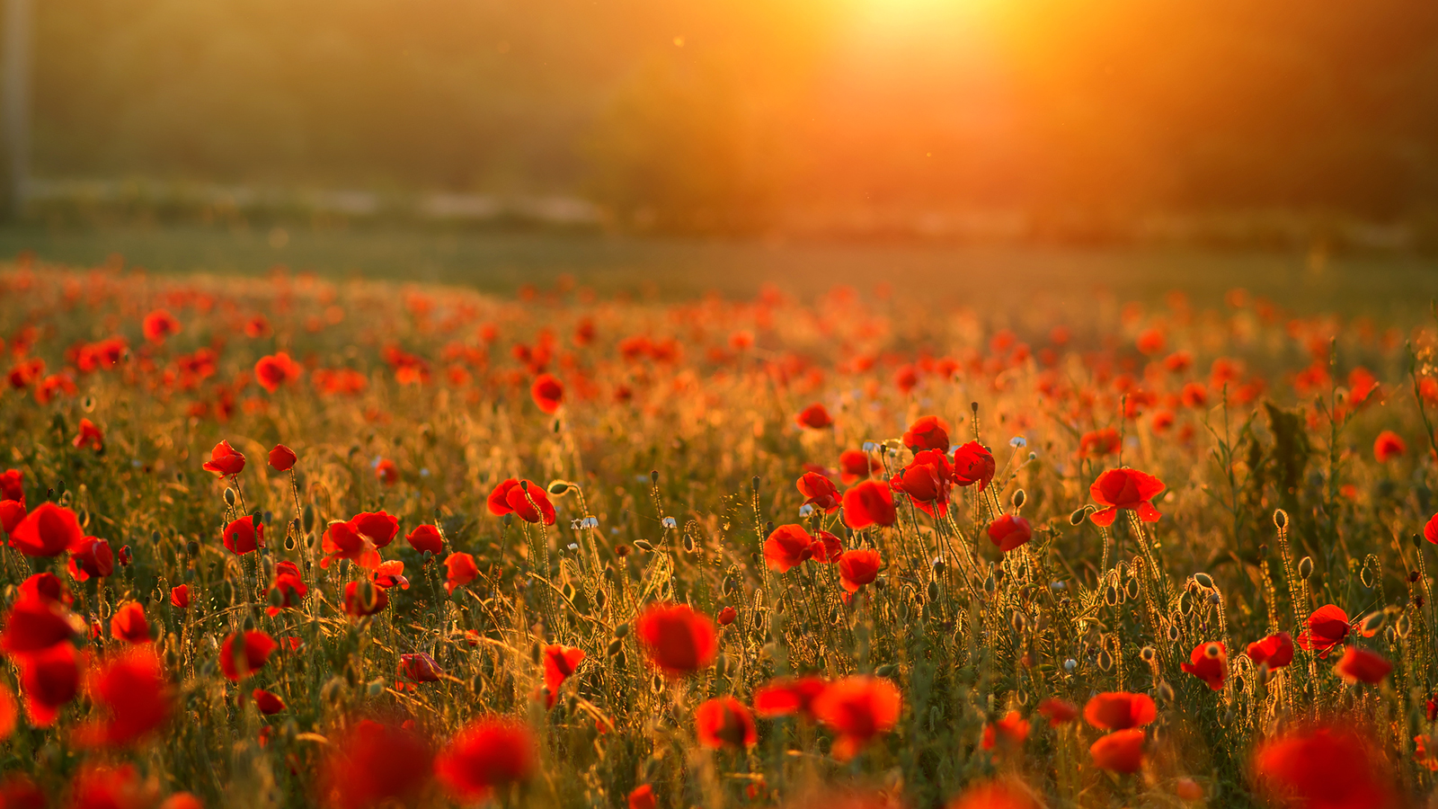 Close up in poppy field and sun